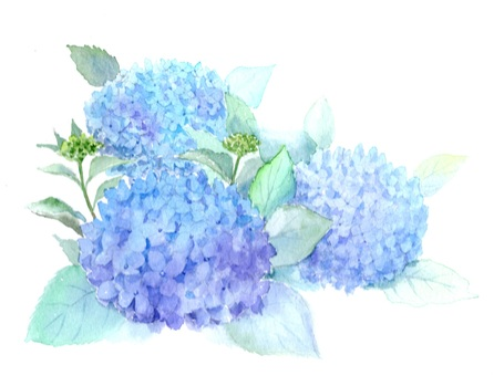 Hydrangea drawn with watercolor