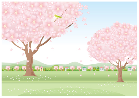 When the cherry blossoms bloom