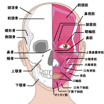 Face front muscle name