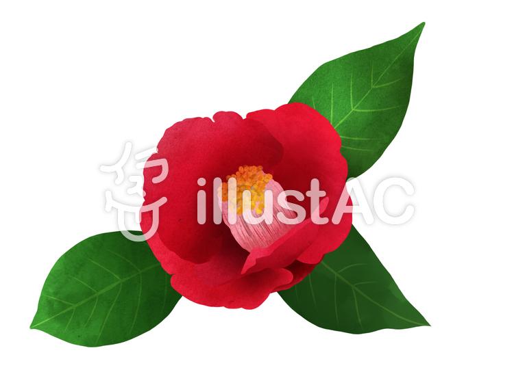 【フリーイラスト素材】お花・椿1