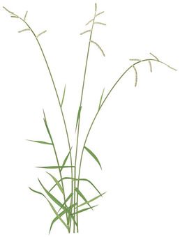 시마 스즈메노히에 / 잡초