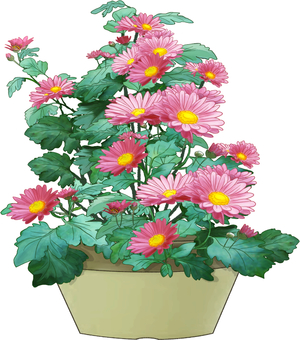 Potted plants of chrysanthemum