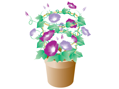 Morning glory _ potted plant 1