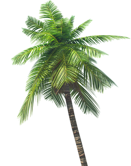 Palm tree 2 (background transparent)