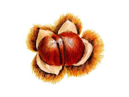 Chestnut - 2 (color pencil drawing)