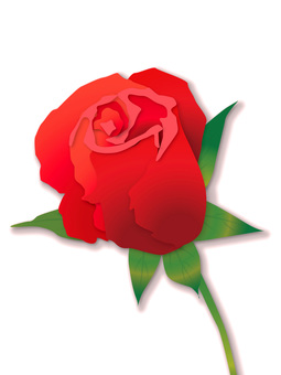 Red Roses Bud