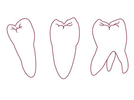 Premolar and molar teeth