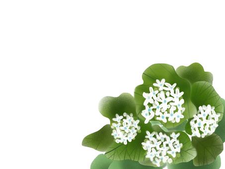 와사비 (고추 냉이)의 꽃