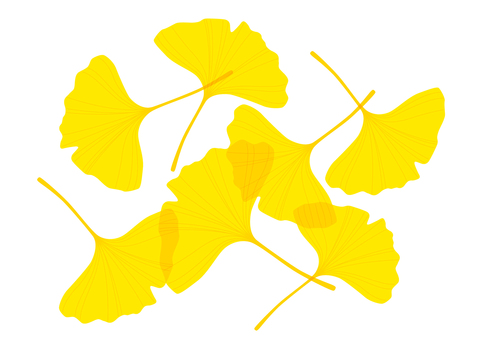 Ginkgo no leaves