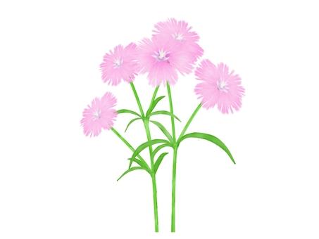 패랭이꽃의 꽃 연분홍