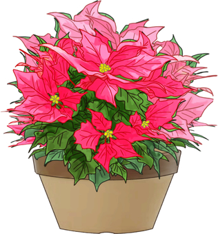 Potted plant of poinsettia