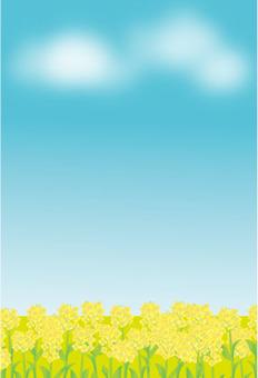 Rape flower field and blue sky