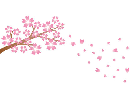 Cherry blossom branch and cherry snowstorm