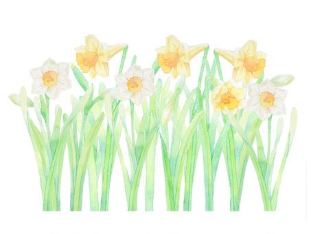 Narcissus ★ 0357-F