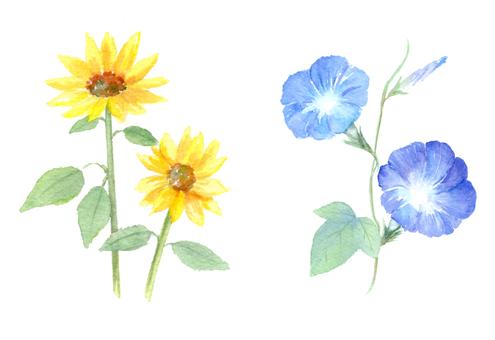 수채화로 그리는 여름 꽃 히메 해바라기와 나팔꽃