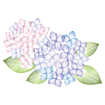 Hydrangea [pink and purple]