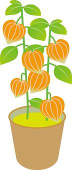 Cherry Hinoki Hozuki Plant