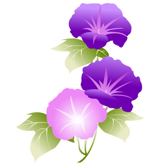Pink and purple morning glory