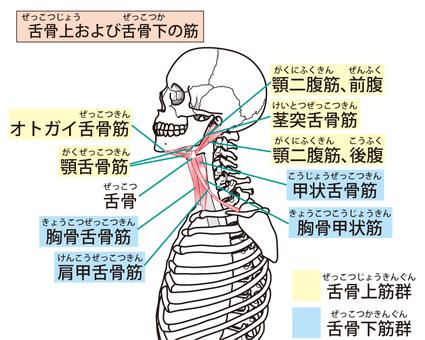 혀 뼈에와 혀 뼈 아래 근육
