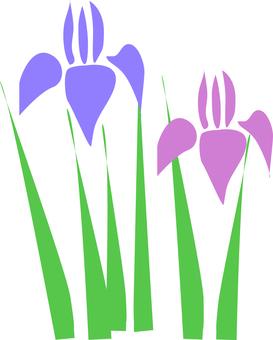flower-菖蒲-