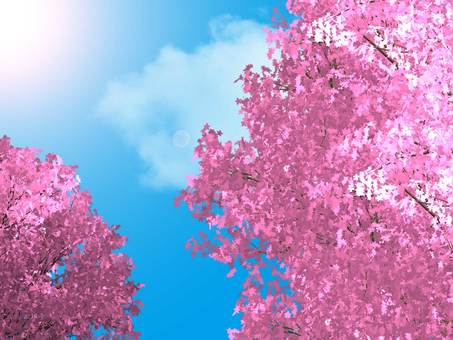 Clear sky and pink cherry blossoms