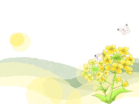 Rape blossoms 5