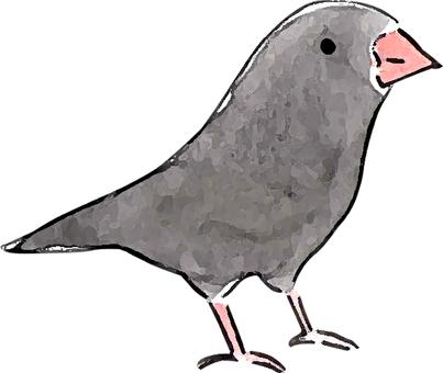 黒 Jinhua bird