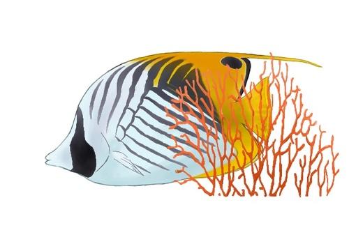 Swallowtail蝴蝶魚