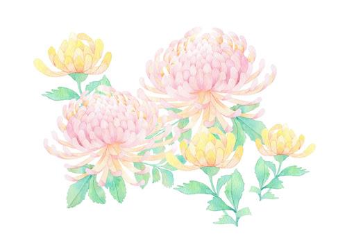 Chrysanthemum ★ 0321-F
