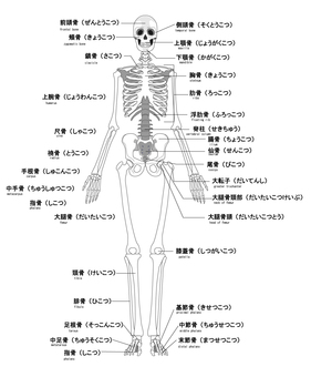 Human skeleton name English