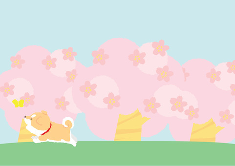 Shiba puppy - You also want to cherry a cherry blossom tree