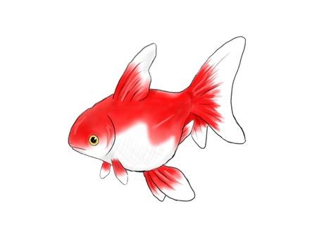 赤い金魚(背景なし)
