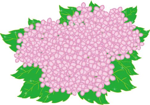 Hydrangea pink Morning dew shining