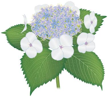 Hydrangea / hydrangea