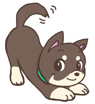 Black Chihuahua shaking tail