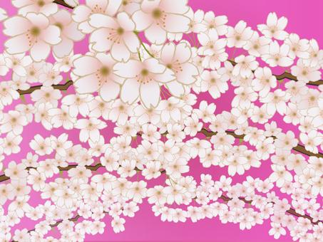 만개 한 벚꽃 배경