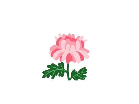 Chrysanthemum flower (pink)