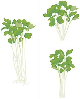 Kaiwai Daikon / Vegetable