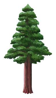 Large cedar tree