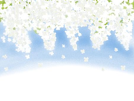 라일락 흰색 2