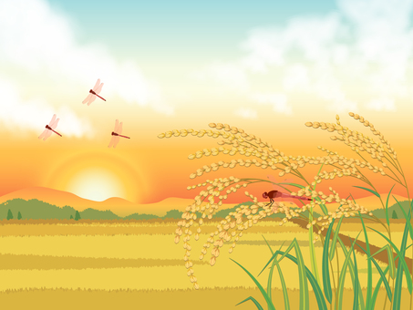 Sunset sky, rice field and ear rice