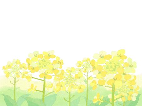 Rape blossom 8