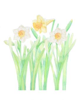 Narcissus ★ 356-F