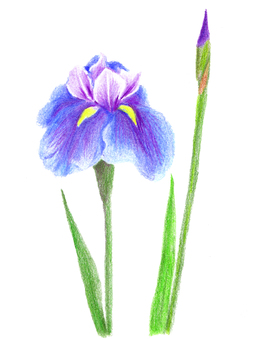 菖蒲 (Colored pencil drawing)