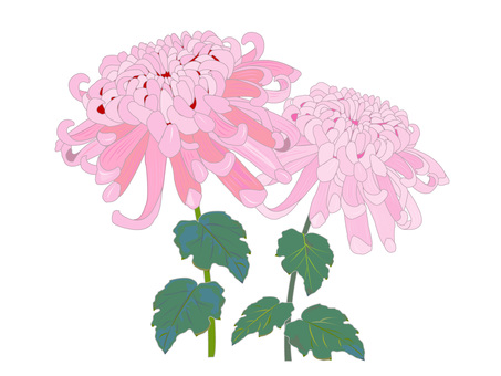 Chrysanthemum pink of large flower
