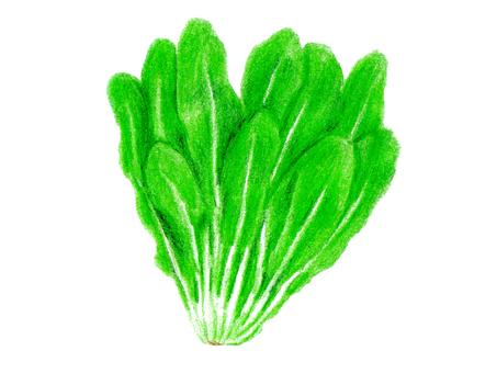 Gyeonggi lettuce (color pencil drawing)
