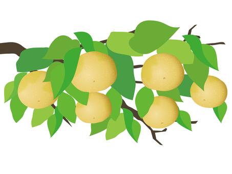 Pear tree fruits