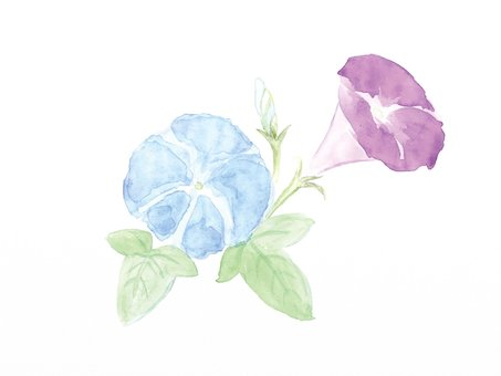 Summer flowers, morning glory, watercolor