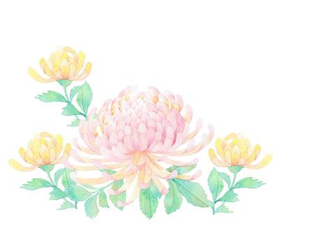 Chrysanthemum ★ 0322-F
