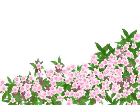 阿比西亞粉紅色